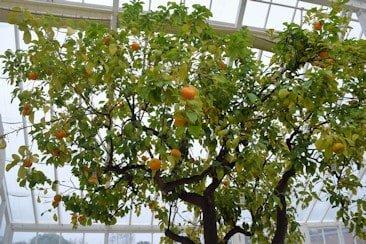 Waterperry orange in unheated greenhouse