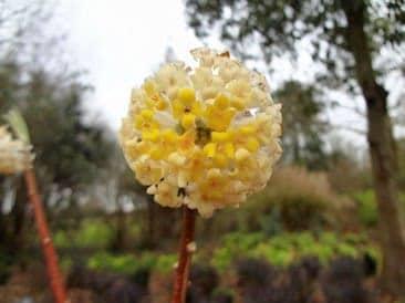 Edgworthia chrysantha 'Grandiflora'.jpg