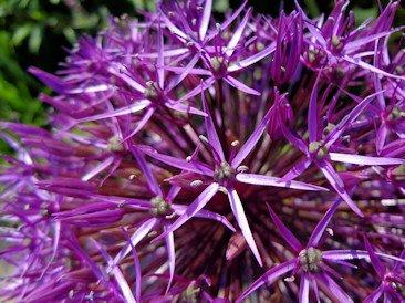 Allium - Plant of the Month