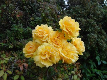 Rosa 'Golden Beauty'