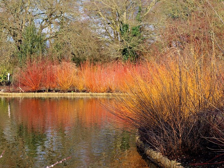 Cornus & Willow RSH Wisley