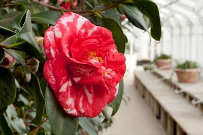 Chiswick House Camellia Festival