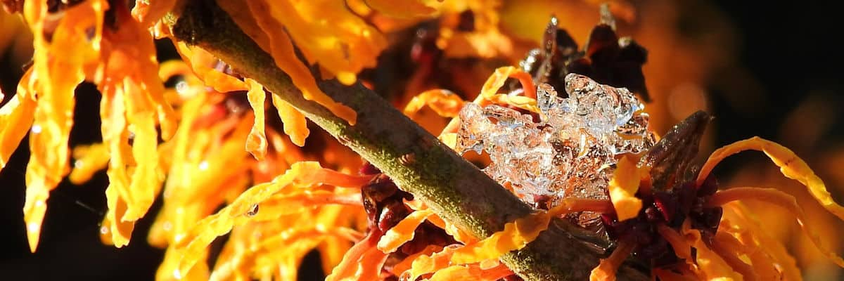 Green Island - Hamamelis-x-intermedia-Orange-Peel