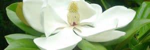 Magnolia grandiflora slide
