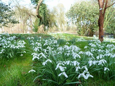 Snowdrops at Waterperry Gardens