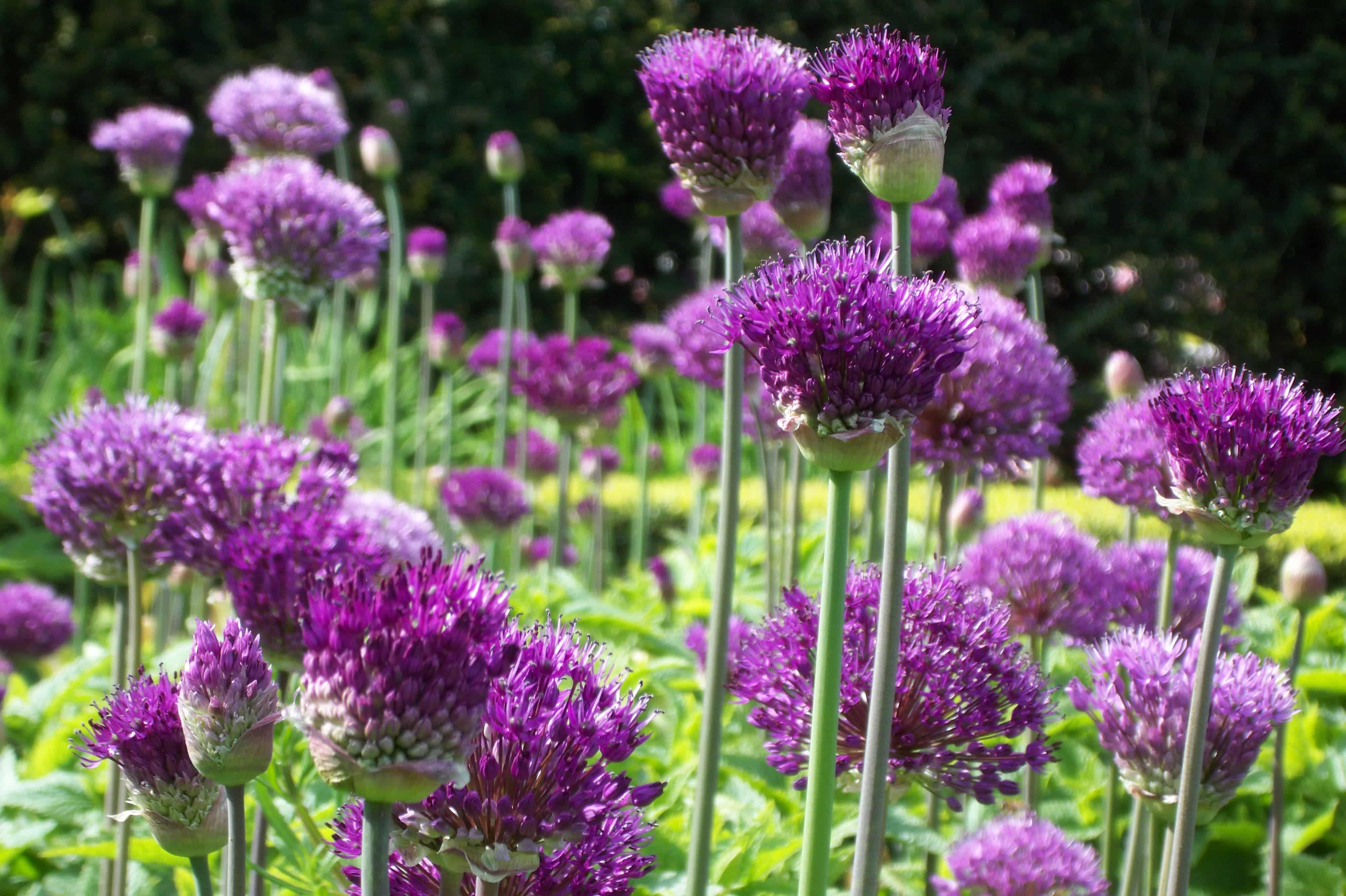 Allium Extravaganza May & June