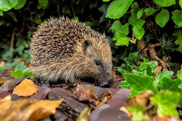 hedgehog-a