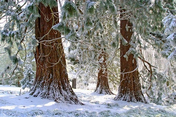 Conifers in the snow at Batsford Arboretum