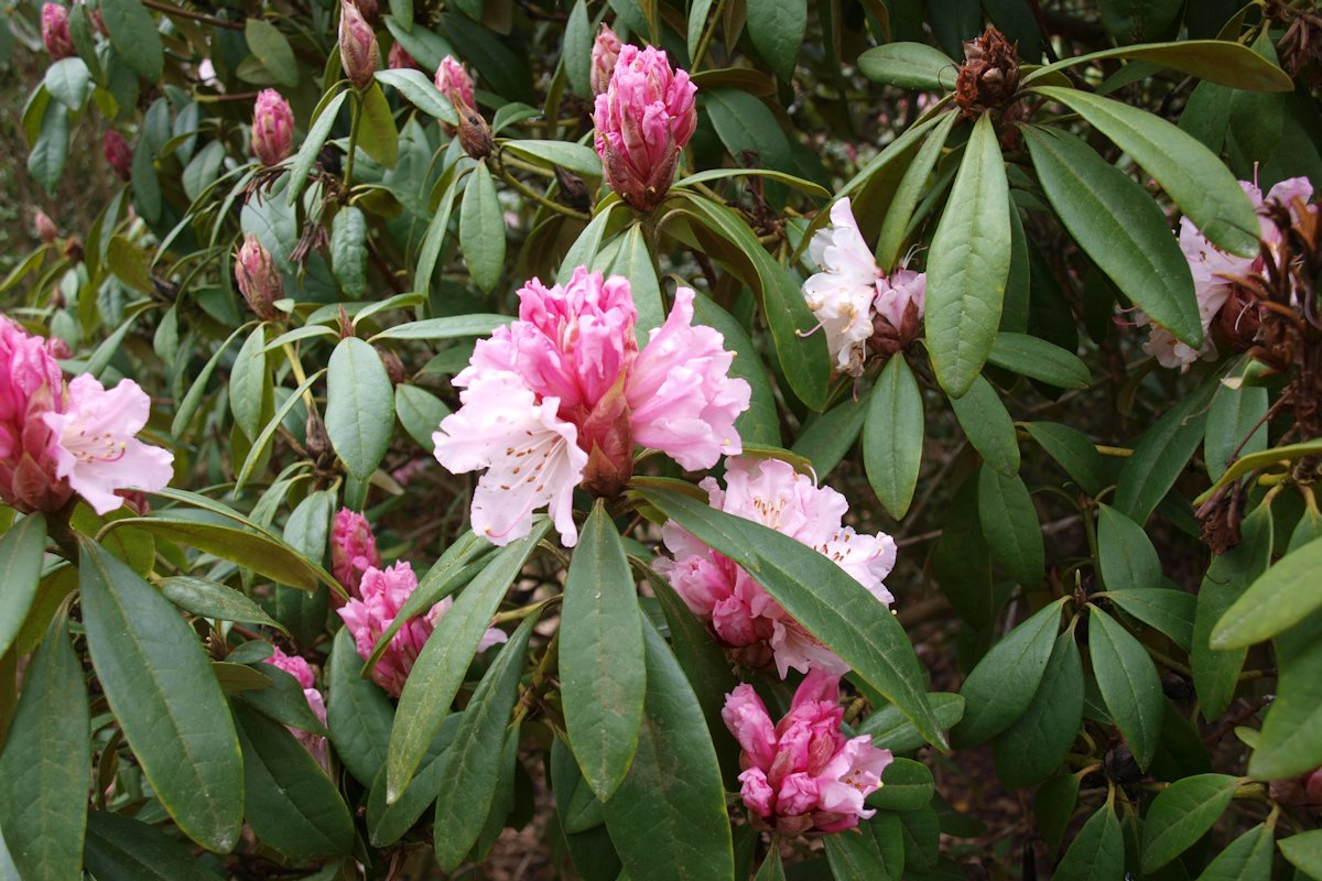 Rhododendron 'Christmas Cheer' Trees