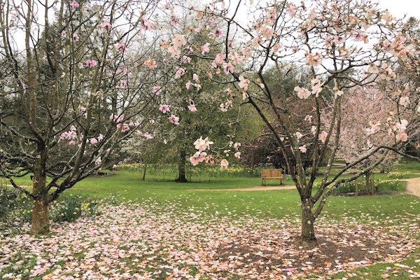 Magnolias at Batsford Arboretum