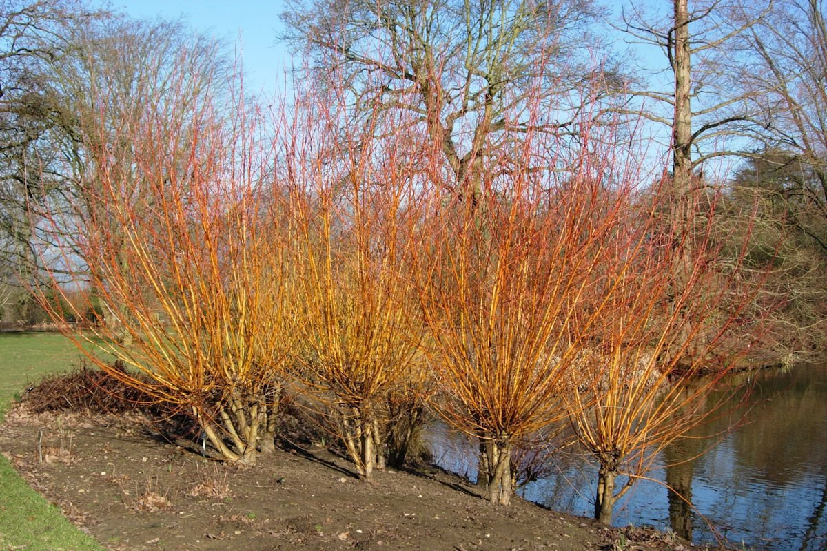 Salix 'Yelverton'