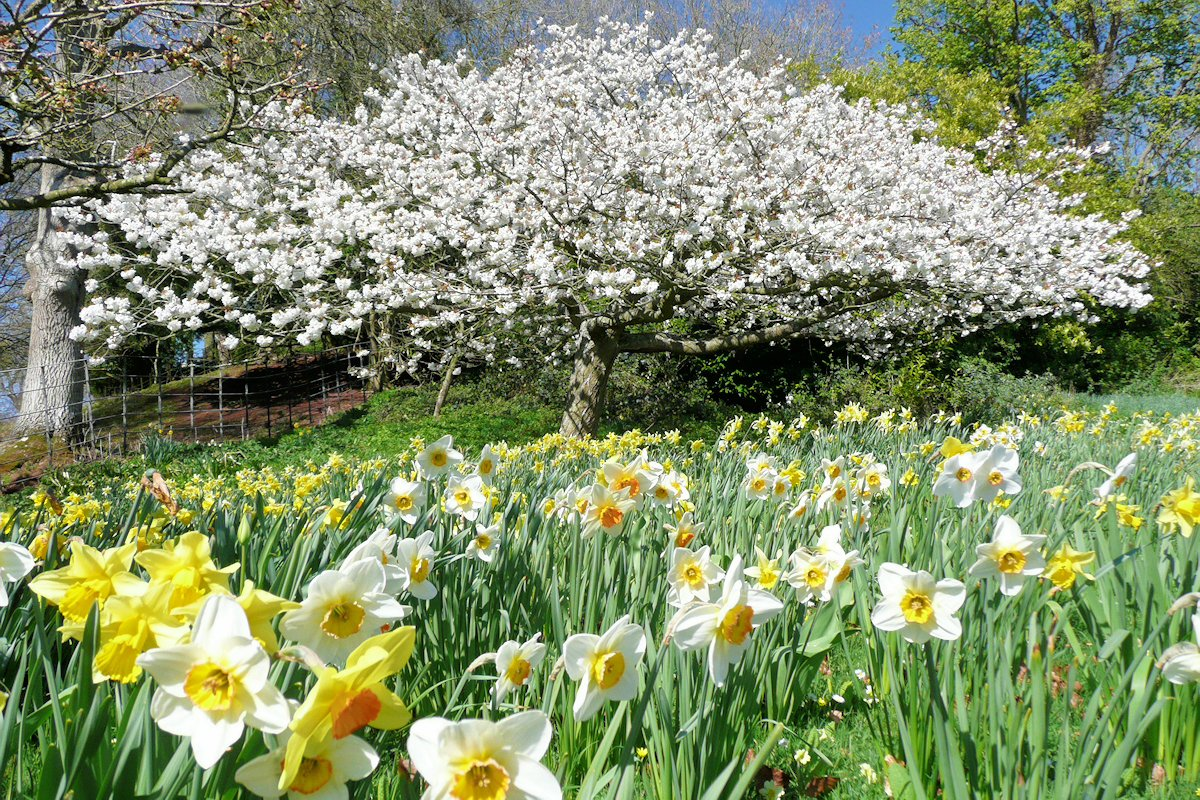 Daffodils at Lydney Park